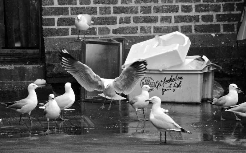 SEAGULL FEEDING FRENZY AT THE FISH MARKET (Queen Victoria Market, North Melbourne)