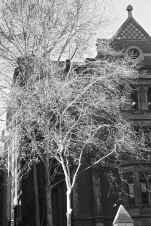 Bright sunlight highlights the bare winter branches of a tree behind St Paul's Cathedral administration buildings.